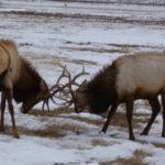 elk-spar